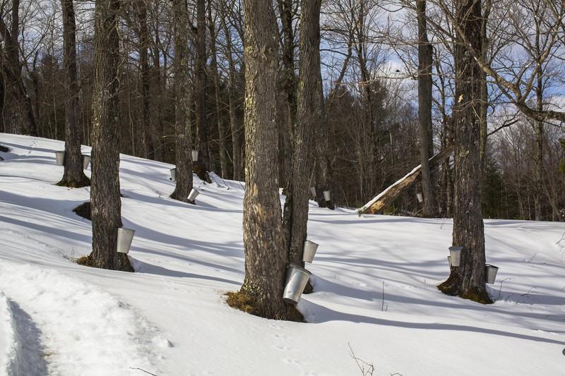 Um Ahornsirup zu gewinnen, muss der Baum mindestens 30 Jahre alt sein.